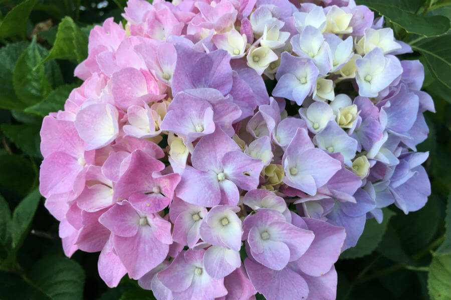 Waiting on our hydrangea and learning a lesson in patience
