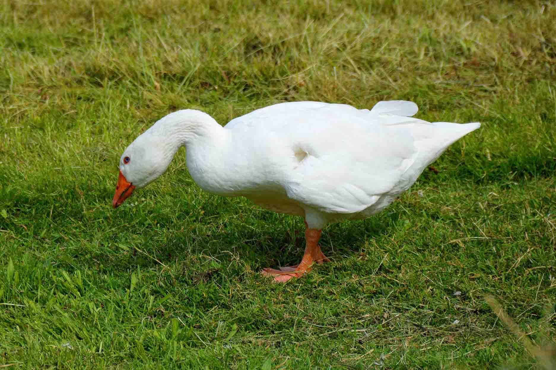 The Joy of the Wild Goose