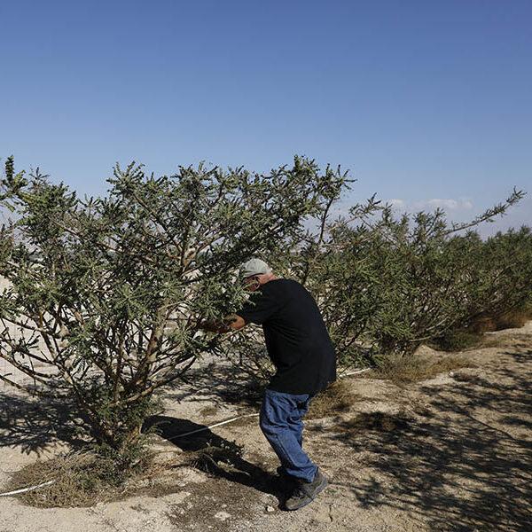 Frankincense's future: Ancient gift endangered, risks depletion